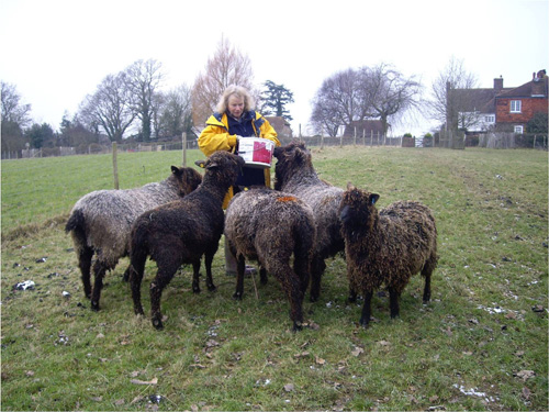 Julia Desch's Wensleydale sheep