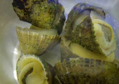North_Devon_Limpets